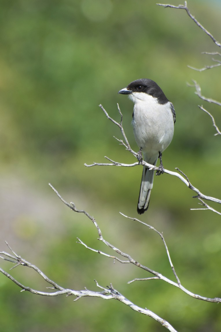 A fiscal shrike or southern fiscal near Hermanus