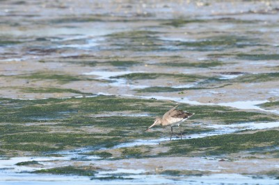 Godwit in Chichester Harbour