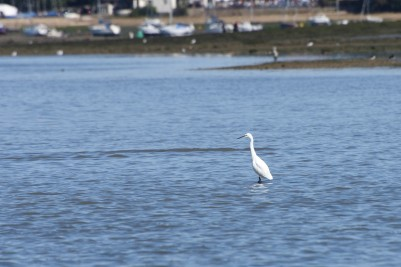 Little Egret in Chichester Harbour