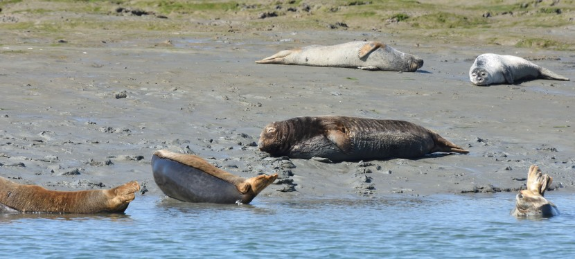 Seals from Chichester Harbour…sorry its a bit late part1