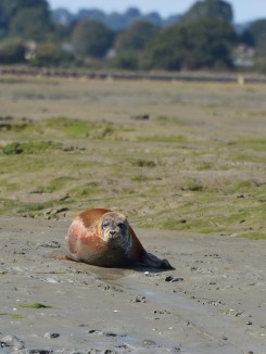 Common Seal, Chichester Harbour