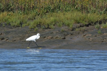 Little Egret strutting at Burnham-on-Crouch