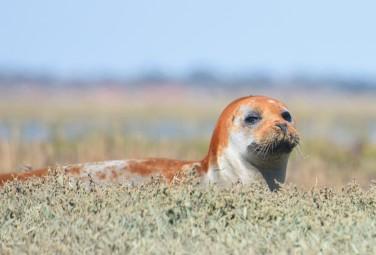 Common Seal Burnham-on-Crouch