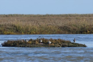 A few godwits on the way to see the seals, Harwich