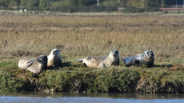 Common seal gang chilling, Harwich