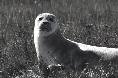 Common seal, Harwich