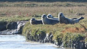 Common seals, Harwich