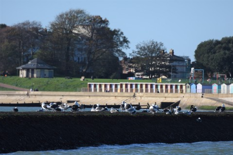 Gulls, Dovercourt