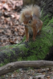 Another red squirrel