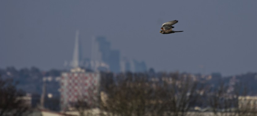 Lock Down Wildlife Walks – Peregrine Falcons, Kestrels and Skylarks in London!