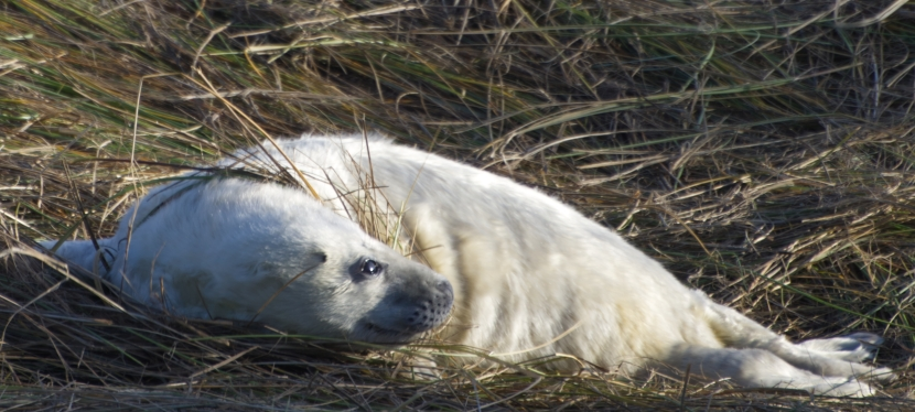 It's that time of year again – seal pups in Norfolk